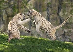 trip to Temaiken Zoo tiger